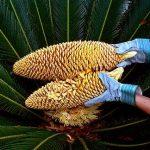 Sago Palm Pollination