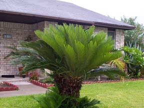 "Multi-Headed Sago Palm ""Cycas revoluta"""