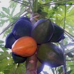 Carica papaya Fruit getting ripe