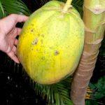Carica papaya Fruit getting ripe