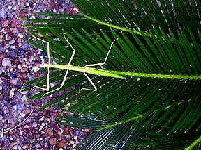 Walking Stick insect (Diapheromera femorata) on Cycas revoluta Sago Palm